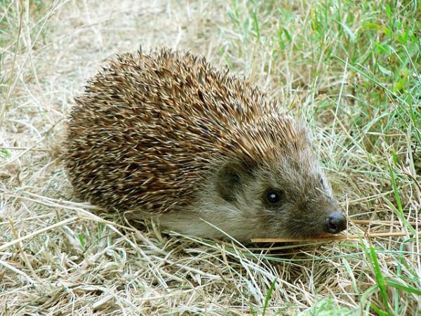 Biodiversité au jardin : la protection des hérissons
